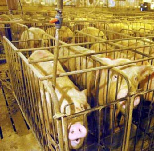 Pigs_in_cages