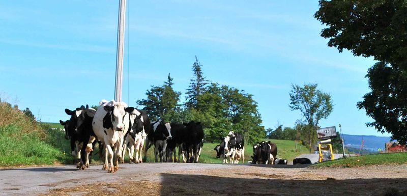 Dan's Cows